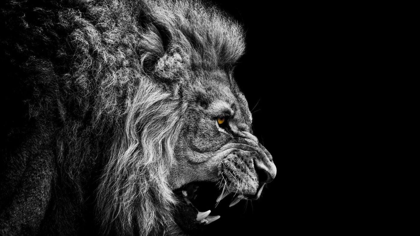 león no le hace caso a la oveja